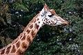 Giraffe close-up (5023194853).jpg