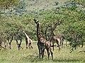 Giraffes Grazing (2405281800).jpg