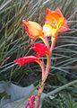 GladiolusDalenii.jpg