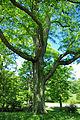 Gleditsia triacanthos trunk.jpg