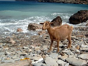 A goat by the sea in Mallorca, Spain. Balearia...