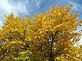 Golden Leaves (6583960341).jpg