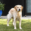 Golden Retriever-2003-03-12.jpg