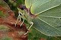 Gonepteryx rhamni (36063558423).jpg