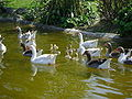 Gooses and chicks.JPG