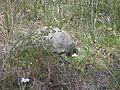 Gopher Tortoise 05, Reed Bingham State Park.JPG