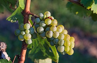 Vitis vinifera - Image: Grape vines 2015 02