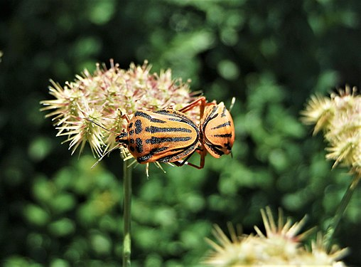 Graphosoma lineatum mating (10).jpg