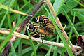 Grass flies (chloropidae) mating.jpg