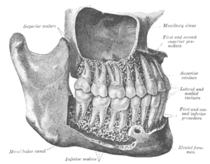 Mandibular canal - The permanent teeth, viewed from the right. The external layer of bone has been partly removed and the maxillary sinus has been opened.