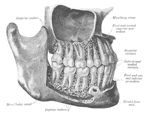 Diente premolar - Wikiwand