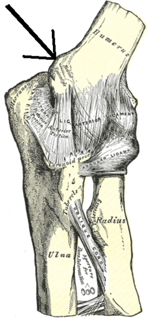 Medial epicondyle of the humerus - Left elbow-joint, showing anterior and ulnar collateral ligaments. (Medial epicondyle labeled at center top.)