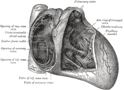 Interior of heart, viewed from the front. Opening of coronary sinus is labeled.