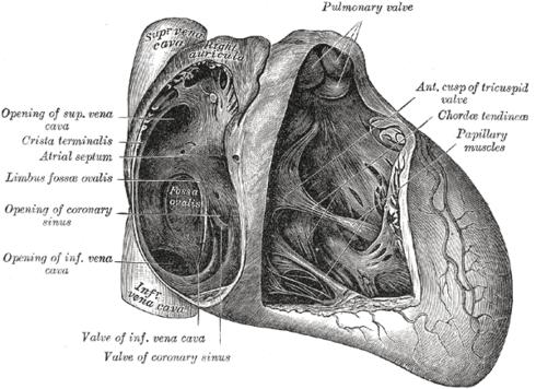 Válvula del seno coronario - Wikiwand