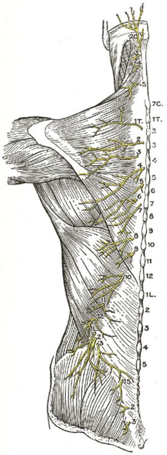 Posterior branches of thoracic nerves - Diagram of the distribution of the cutaneous branches of the posterior divisions of the spinal nerves.