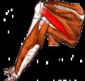Gray — musculus teres minor.png