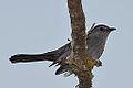 Gray Catbird (8741052078).jpg