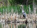 Great Blue Heron (8748548920).jpg