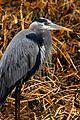 Great Blue Heron at Lake Woodruff - Flickr - Andrea Westmoreland (1).jpg