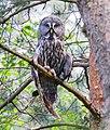 Great Grey Owl (Strix nebulosa), Belarus 2.jpg