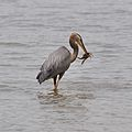 Great blue heron eating crab (9620542969).jpg