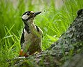 Great spotted woodpecker (47963465061).jpg