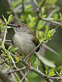 Green-backed camaroptera, Camaroptera brachyura, at Ndumo Nature Reserve, KwaZulu-Natal, South Africa (29088034395).jpg
