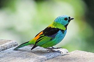 Tanager - Green-headed tanager, Tangara seledon