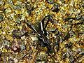 Green Dragon Tail (Lamproptera meges) (8416289623).jpg