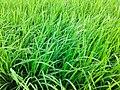 Green Paddy Crops.jpg