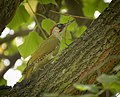 Green woodpecker (48542183542).jpg