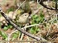 Greenish Warbler (Phylloscopus trochiloides) (34779366550).jpg