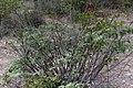 Grewia flava-2387 - Flickr - Ragnhild & Neil Crawford.jpg