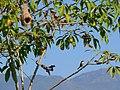Grey Buschchat - Saxicola ferreus - P1060697.jpg