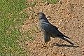 Grey kestrel (Falco ardosiaceus).jpg