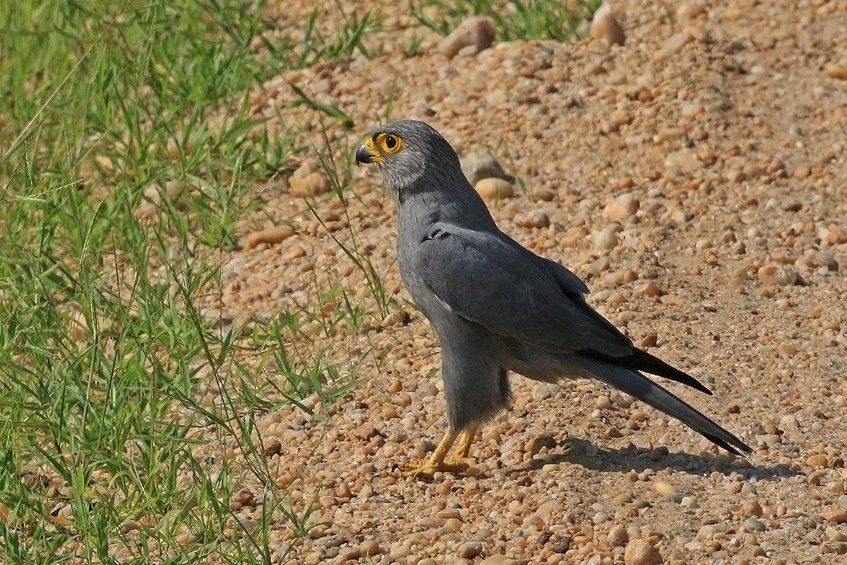 Grey kestrel - Wikipedia