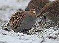Grey partridge (47369490161).jpg