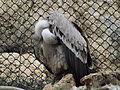 Griffon Vulture preening.jpg