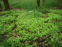 220px-Group_of_Galium_odoratum_in_forest dans FLORE FRANCAISE