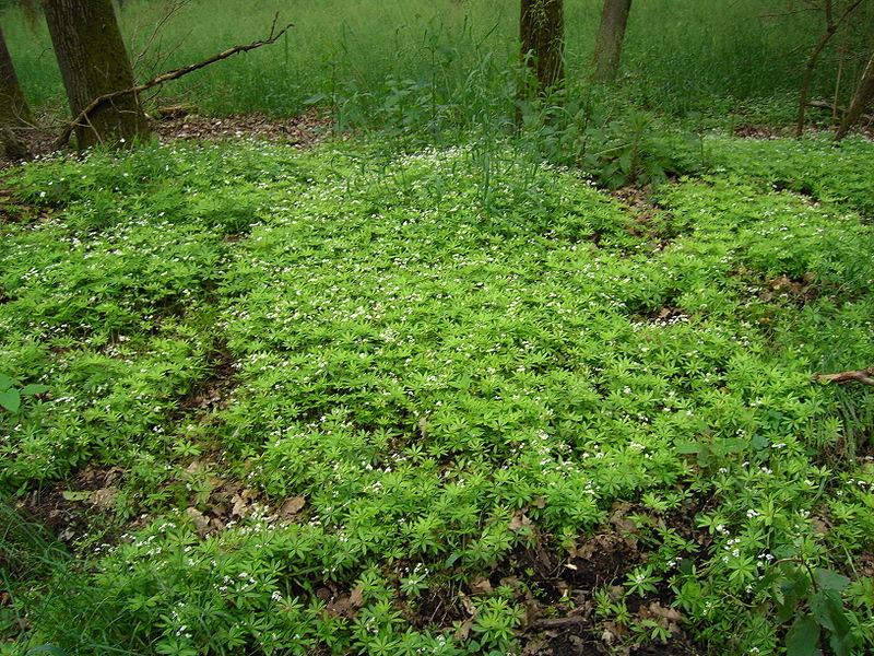 Colonie d'asperule odorante dans un sous bois