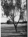 Gum Tree(GN04667).jpg