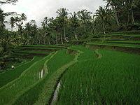 Sawah di sekitar puri Gunung Kawi, Tampaksiring, Bali.