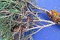 Gymnosporangium sabinae 06.jpg