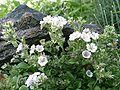 Gypsophila cerastioides 811.JPG