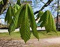 Hästkastanj (Aesculus hippocastanum) i Planteringsförbundets park, Falköping 2358.jpg