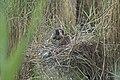 Héron pourpré (Ardea purpurea) 01.jpg