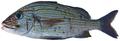 Haemulon carbonarium - pone.0010676.g091.png