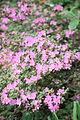 Hane-otome (Rhododendron kiusianum) (3574401619).jpg