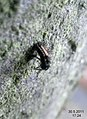 Harlequin larva (5789682242).jpg