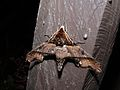 Hawkmoth (Amblypterus panopus) (6707987145).jpg